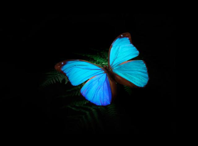 モルフォ蝶の画像
